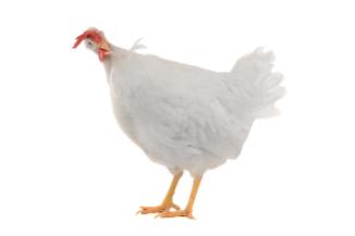 Poultry_shutterstock_179805782